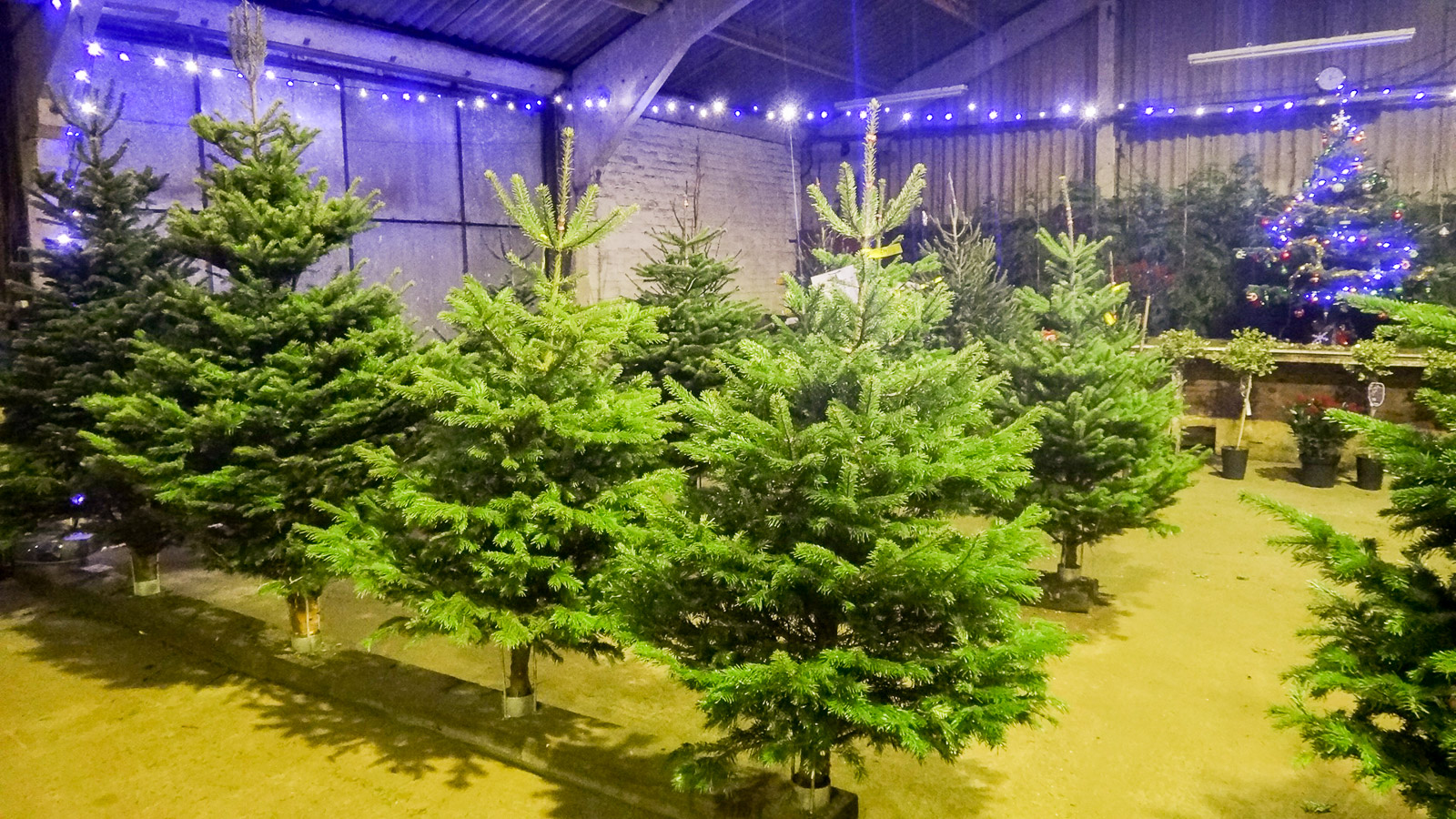 Images of christmas trees scotland christmas tree for Garden trees scotland