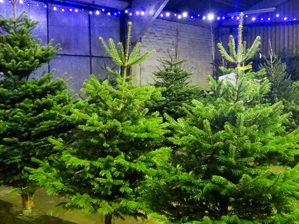 Conifox Edinburgh Christmas Trees To Buy From Our Garden