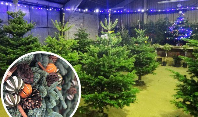 Conifox Christmas Trees